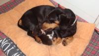 """bassotta Zoe - Montelupo Fiorentino - 18-07-2013 - Zoe, bassotta cuore di mamma con i """"suoi"""" gattini"""