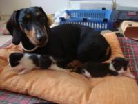 """bassotta Zoe - Montelupo Fiorentino - 17-07-2013 - Zoe, bassotta cuore di mamma con i """"suoi"""" gattini"""