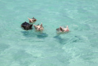 Maiali nuotatori - Exuma - 19-06-2014 - Il paradiso dei maiali esiste e si trova alle Bahamas