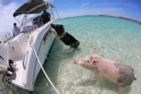 Maiali nuotatori - Exuma - 23-06-2014 - Il paradiso dei maiali esiste e si trova alle Bahamas