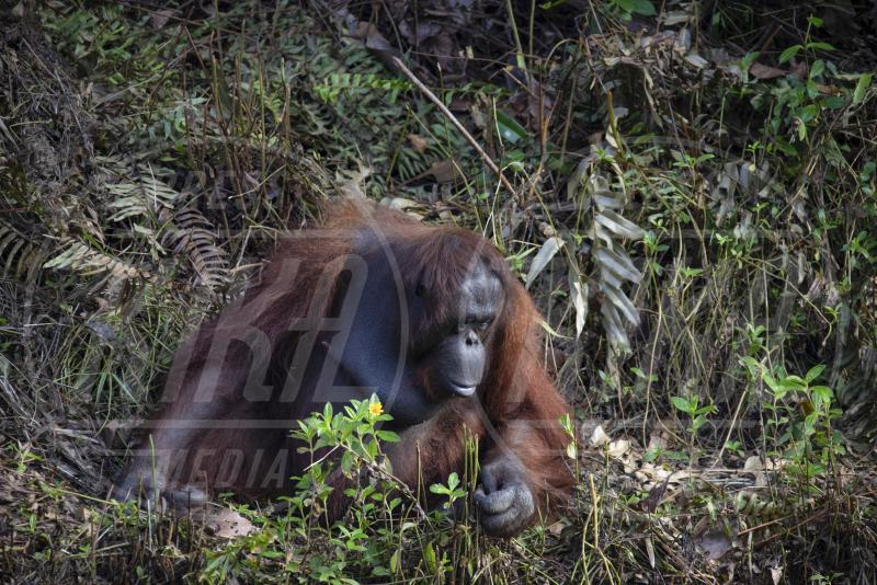 Orangutan - 02-02-2020 - L'unione fa la forza... tra uomo e orangutan